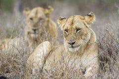 Afrykańscy lwy w Kruger parku narodowym, Południowa Afryka Obraz Stock