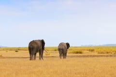 afrykańscy oddaleni słonie idą zdjęcia stock