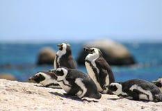 Afrykańscy pinguins przy głazami wyrzucać na brzeg w Simons miasteczku fotografia stock