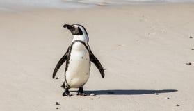 Afrykańscy pingwinów stojaki na piaskowatej plaży w śmiesznej pozie Simon ` s miasteczko Głaz plaża afryce kanonkop słynnych góry obraz royalty free