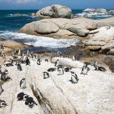 afrykańscy pingwiny Obraz Royalty Free
