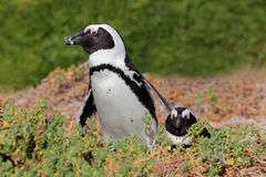 Afrykańscy pingwiny Zdjęcie Royalty Free