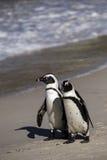Afrykańscy pingwiny, Południowa Afryka Zdjęcie Royalty Free