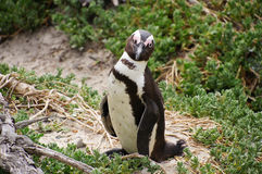 Afrykańscy pingwiny przy Fałszywą zatoką w Południowa Afryka Zdjęcia Royalty Free