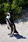 Afrykańscy pingwiny, przylądek Peninsular, Południowa Afryka zdjęcia stock