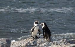 Afrykańscy pingwiny stoi na rockowym Południowa Afryka Obraz Royalty Free