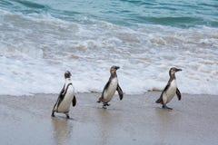 afrykańscy przylądka wyspy pingwiny robben miasteczko Obrazy Stock
