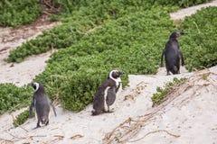 afrykańscy przylądka wyspy pingwiny robben miasteczko Zdjęcia Stock