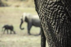 Afrykańscy słonie Zdjęcia Stock