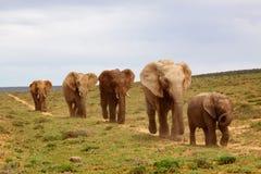 afrykańscy słonie Obraz Stock