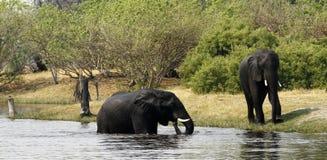 Afrykańscy słonie Zdjęcie Stock