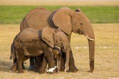 Afrykańscy słonie, Amboseli, Kenja Zdjęcie Royalty Free