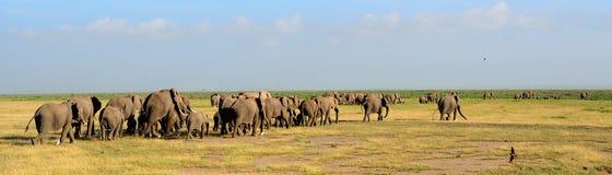 Afrykańscy słonie, Amboseli park narodowy, Kenja Zdjęcie Royalty Free