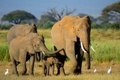 Afrykańscy słonie, Amboseli park narodowy, Kenja Obraz Stock
