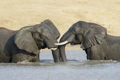 Afrykańscy słonie bawić się w wodzie Obraz Stock