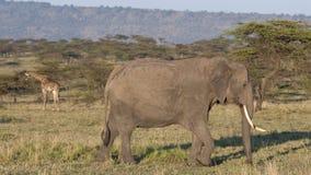 Afrykańscy słonie chodzi równiny Maasai Mara zdjęcie stock
