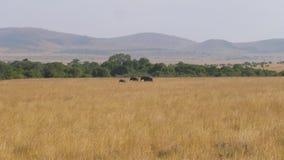 Afrykańscy słonie Iść Each Inny Przez sawannę Z Wysoką Suchą trawą zbiory