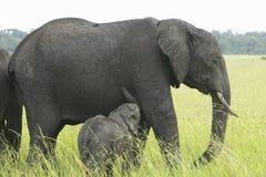 Afrykańscy słonie i dziecko w obszarach trawiastych Lewa Conservancy, Kenja, Afryka Obraz Royalty Free