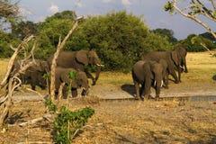 Afrykańscy słonie Maszeruje na równinach Zdjęcia Stock