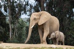 Afrykańscy słonie, miły kochający czuły związek, matka i dziecko, ślicznego malutkiego dziecko słonia podąża matka, naturalna out zdjęcia stock