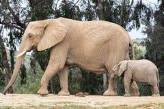 Afrykańscy słonie, miły kochający czuły związek, matka i dziecko, ślicznego malutkiego dziecko słonia podąża matka, naturalna out zdjęcia royalty free