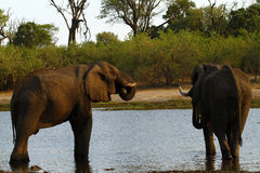 Afrykańscy słonie na Savuti kanale Fotografia Royalty Free