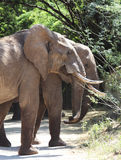 Afrykańscy słonie pasa na drzewach w Samburu Krajowej rezerwie Zdjęcie Stock
