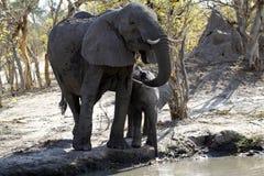 Afrykańscy słonie Pije na równinach Zdjęcia Royalty Free
