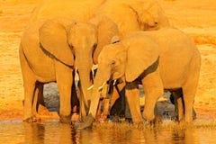 Afrykańscy słonie pije przy waterhole podnosi ich bagażniki, Hwange, Zimbabwe Przyrody scena od natury Słoń w wate zdjęcie stock