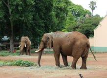 Afrykańscy słonie przy zoo Pretoria, Południowa Afryka Zdjęcie Stock
