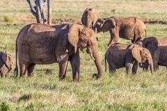 Afrykańscy słonie w savana Fotografia Stock
