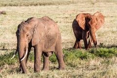 Afrykańscy słonie w savana Obraz Royalty Free