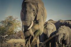 Afrykańscy słonie Zbliżają się wodopoju Fotografia Stock