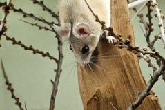 Afrykańscy spiny myszy zerknięcia out od wierzchołka rama za Obrazy Stock