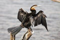 Afrykańscy Wężowi sunning skrzydła Zdjęcia Stock