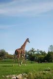 afrykańska żyrafa Zdjęcia Royalty Free