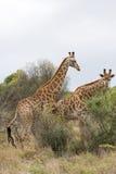 Afrykańska żyrafa w krzaku Fotografia Stock