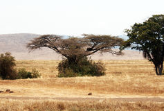 Afrykańska akacja zdjęcie royalty free