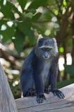 Afrykańska błękit małpa Obrazy Stock