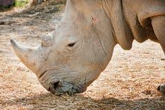 Afrykańska Biała nosorożec Obrazy Royalty Free