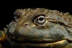 Afrykańska bullfrog Pyxicephalus adspersus żaba odizolowywająca na Czarnym tle Fotografia Royalty Free