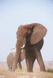 afrykańska byka słonia ampuła Zdjęcie Stock