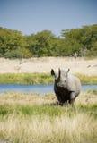 afrykańska czarny zagrażająca nosorożec Fotografia Royalty Free