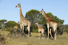 afrykańska krzaka rodziny żyrafa Zdjęcie Royalty Free