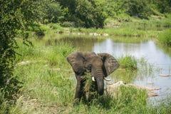 Afrykańska krzaka słonia pozycja w riverbank, sawanna Obraz Stock