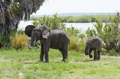 Afrykańska krzaka słonia samiec i cieli się Obrazy Stock