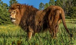 Afrykańska lew pozycja Zdjęcia Royalty Free