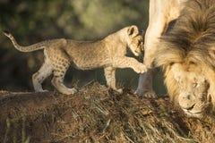 Afrykańska lew samiec i lisiątko (Panthera Leo) Zdjęcia Royalty Free