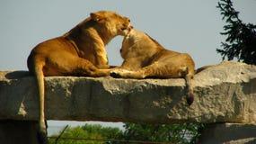Afrykańska lwica liże jej lisiątka na rockowym wypuscie Zdjęcia Royalty Free