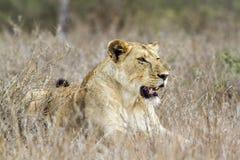 Afrykańska lwica w Kruger parku narodowym, Południowa Afryka Zdjęcia Stock